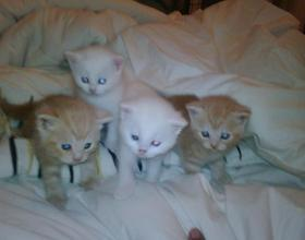 British short hair kittens - emapia.com